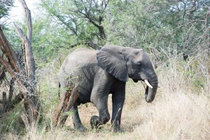 African Elephant While on Safari