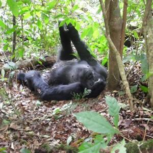 Mountain Gorilla - Bwindi Impenetrable National Park
